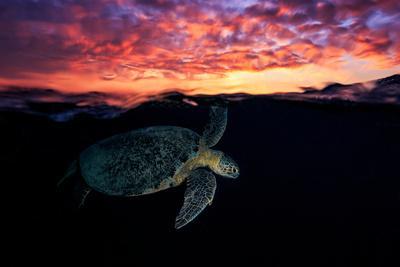 https://imgc.artprintimages.com/img/print/sunset-turtle_u-l-q11dii10.jpg?p=0