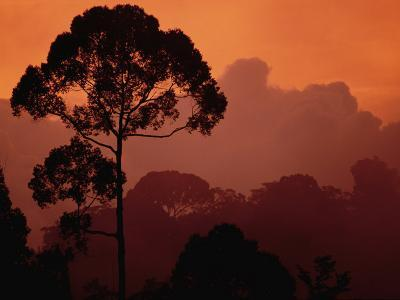 Sunset View of Shorea Trapezifolia, a Critically Endangered Tree Species-Darlyne A^ Murawski-Photographic Print
