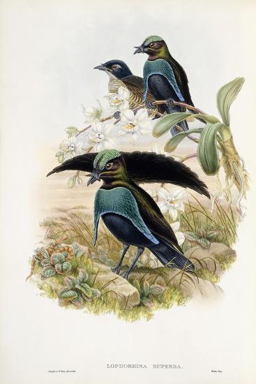Superb Bird of Paradise--Giclee Print