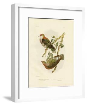 Superb Fruit Pigeon, 1891-Gracius Broinowski-Framed Giclee Print