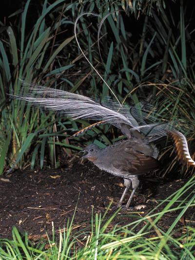 Superb Lyrebird Singing and Displaying (Menura Novaehollandiae), Healesville Sanctuary, Victoria-Dave Watts-Photographic Print