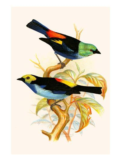 Superb Tanager, Paradise Tanager-F^w^ Frohawk-Art Print
