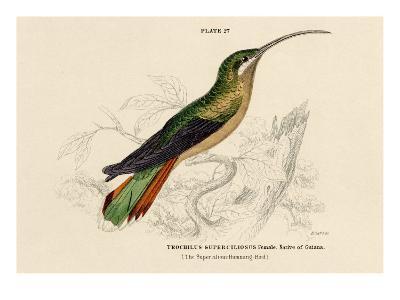 Supercilious Hummingbird--Art Print