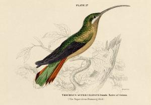 Supercilious Hummingbird