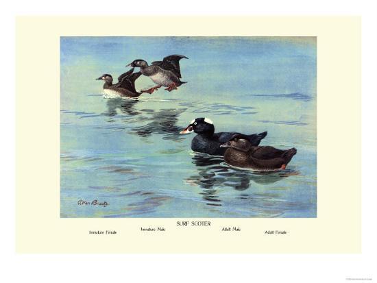Surf Scoter Ducks-Allan Brooks-Art Print
