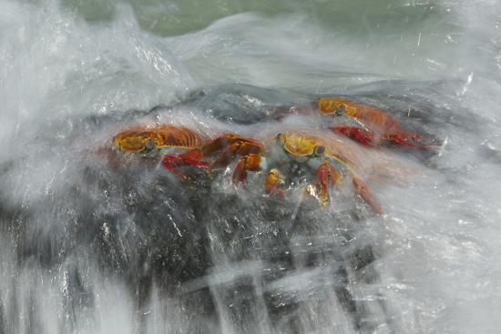 Surf Washing over Sally Lightfoot Crabs, Grapsus Grapsus, on a Rock-Tim Laman-Photographic Print