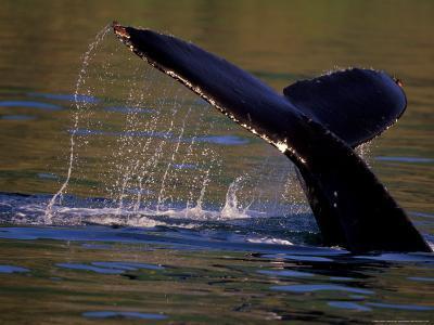 Surfacing Humpback Whale, Inside Passage, Southeast Alaska, USA-Stuart Westmoreland-Photographic Print