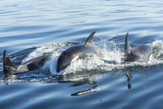 Surfacing Resident Orca Whales at Boundary Pass, border between British Columbia Gulf Islands Canad-Stuart Westmorland-Photographic Print