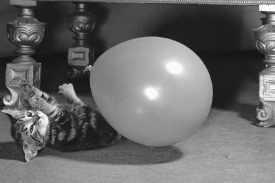 Surprised kitten 1958-Staff-Photographic Print