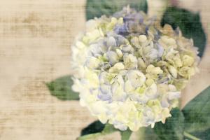 Hydrangeas II by Susan Bryant