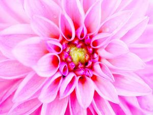 Pink Explosion I by Susan Bryant