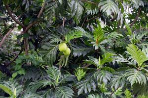 Breadfruit Tree, Artocarpus Altilis, Dominica by Susan Degginger