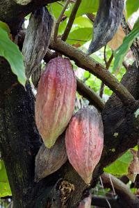 Cocoa Pods, Cocoa Tree, Theobroma Cacao, Dominica, West Indies by Susan Degginger