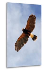 Harris Hawk, Parabuteo Unicinctus by Susan Degginger