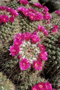 Mammillaria Standleyi, Stanleys Pincushion Cactus by Susan Degginger