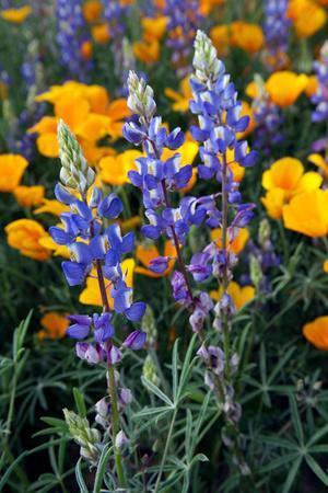 Spring Wildflowers in Bloom in the Sonoran Desert, Tucson, Arizona