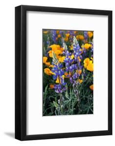 Spring Wildflowers in Bloom in the Sonoran Desert, Tucson, Arizona by Susan Degginger