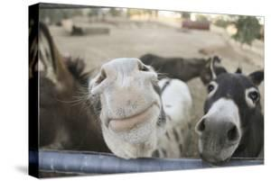 Miniature Donkeys on a Ranch in Northern California, USA by Susan Pease