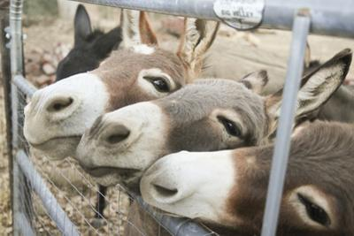 Miniature Donkeys on a Ranch in Northern California, USA