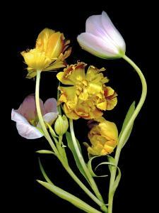 Tulips by Susan S. Barmon
