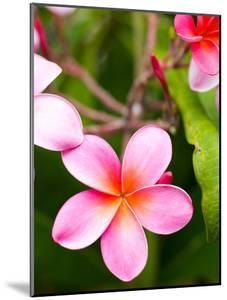 Blossoms of Plumeria, or Frangipani, Cultivated for Lei Garlands by Susan Seubert