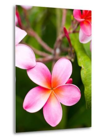 Blossoms of Plumeria, or Frangipani, Cultivated for Lei Garlands