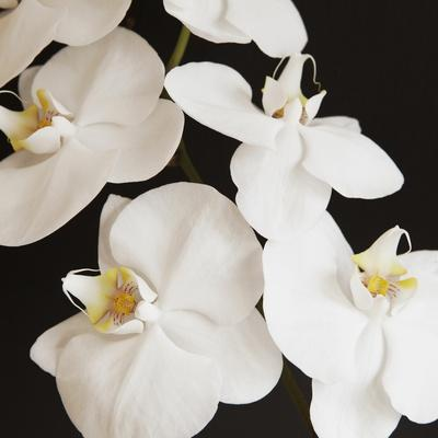 Dramatic Orchid 1