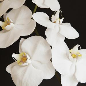Dramatic Orchid 1 by Susannah Tucker