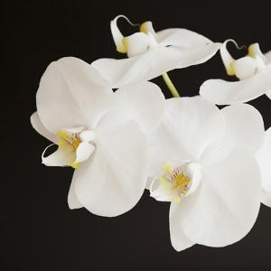 Dramatic Orchid 2 by Susannah Tucker
