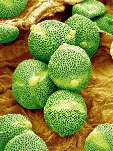 Cucumber Pollen, SEM by Susumu Nishinaga