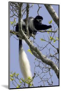 Black-And-White Colobus Monkey (Colobus Guereza) Feeding in Tree, Aberdares Np, Kenya by Suzi Eszterhas