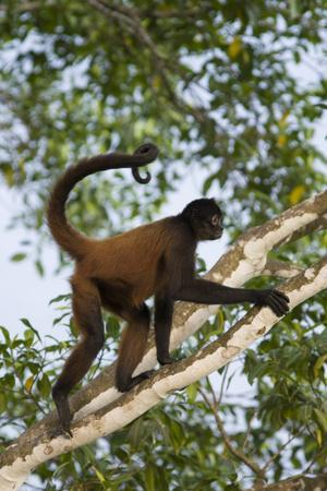 Black-Handed Spider Monkey (Ateles Geoffroyi Ornatus) with Prehensile Tail Curled Round