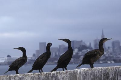 Brandt's Cormorant (Phalacrocorax Penicillatus) with the City of San Francisco in Background