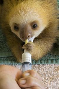 Hoffmann'S Two-Toed Sloth (Choloepus Hoffmanni) Orphaned Baby Bottle Feeding by Suzi Eszterhas