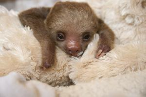 Hoffmann'S Two-Toed Sloth (Choloepus Hoffmanni) Orphaned Baby With Cuddly Toy by Suzi Eszterhas