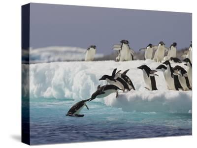 Adelie Penguin (Pygoscelis Adeliae) Jumping Off Iceberg into Icy Water, Paulet Island, Antarctica