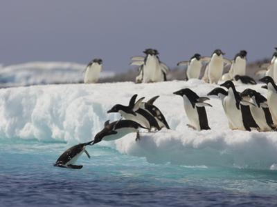 Adelie Penguin (Pygoscelis Adeliae) Jumping Off Iceberg into Icy Water, Paulet Island, Antarctica by Suzi Eszterhas/Minden Pictures