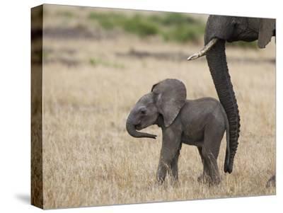 African Elephant (Loxodonta Africana) Mother and Less Than 3 Weeks Old Calf, Masai Mara, Kenya