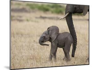 African Elephant (Loxodonta Africana) Mother and Less Than 3 Weeks Old Calf, Masai Mara, Kenya by Suzi Eszterhas/Minden Pictures