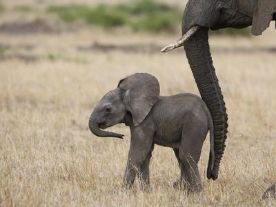 African Elephant (Loxodonta Africana) Mother and Less Than 3 Weeks Old Calf, Masai Mara, Kenya