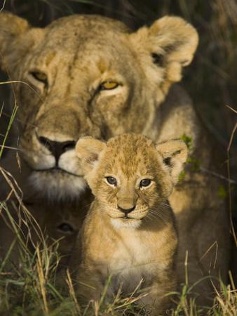 African Lion (Panthera Leo) 5 Week Old Cub Peeks Out of the Den, Masai Mara Nat'l Reserve, Kenya