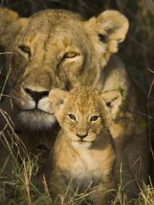 African Lion (Panthera Leo) 5 Week Old Cub Peeks Out of the Den, Masai Mara Nat'l Reserve, Kenya by Suzi Eszterhas/Minden Pictures