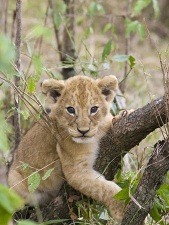 African Lion (Panthera Leo) 6 to 7 Week Old Cub Playing on Tree, Masai Mara Nat'l Reserve, Kenya