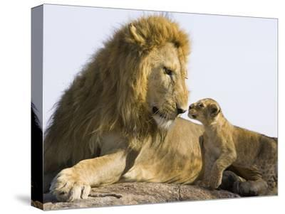 African Lion (Panthera Leo) Cub Approaching Adult Male, Vulnerable, Masai Mara Nat'l Reserve, Kenya