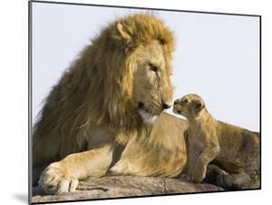 African Lion (Panthera Leo) Cub Approaching Adult Male, Vulnerable, Masai Mara Nat'l Reserve, Kenya by Suzi Eszterhas/Minden Pictures