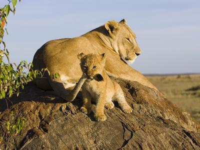 African Lion (Panthera Leo) Cub Playing with its Mother's Tail, Masai Mara Nat'l Reserve, Kenya