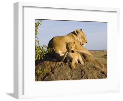 African Lion (Panthera Leo) Cub Playing with its Mother's Tail, Masai Mara Nat'l Reserve, Kenya