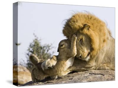 African Lion (Panthera Leo) Cubs Playing with Adult Male, Masai Mara Nat'l Reserve, Kenya
