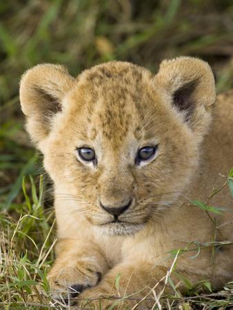 African Lion (Panthera Leo) Five Week Old Cub, Vulnerable, Masai Mara Nat'l Reserve, Kenya by Suzi Eszterhas/Minden Pictures