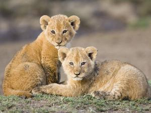 African Lion (Panthera Leo) Four to Five Week Old Cubs, Vulnerable, Masai Mara Nat'l Reserve, Kenya by Suzi Eszterhas/Minden Pictures